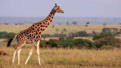 Kahve Falında Zürafa Görmek