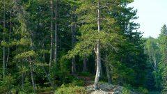 Kahve Falında Çam Ağacı Görmek