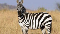 Kahve Falında Zebra Görmek