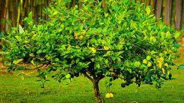 Rüyada Limon Ağacı Görmek